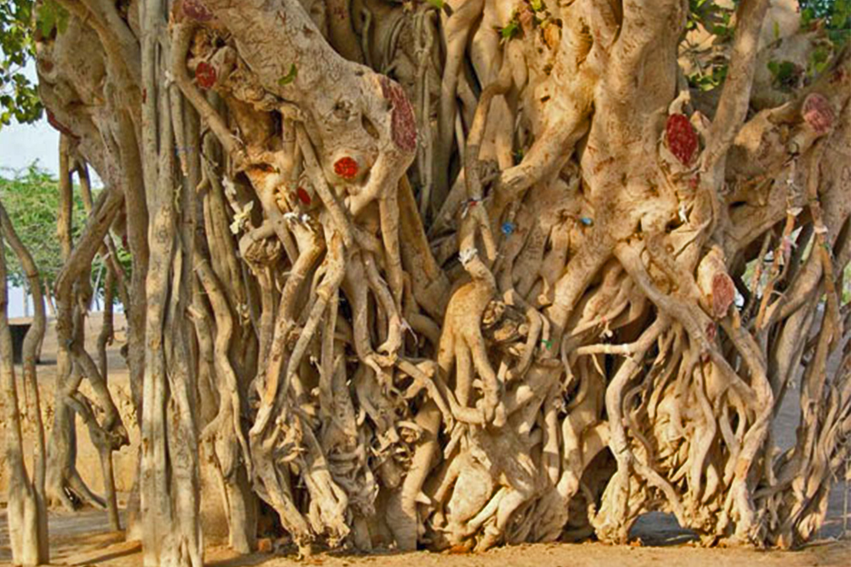درخت لور کیش