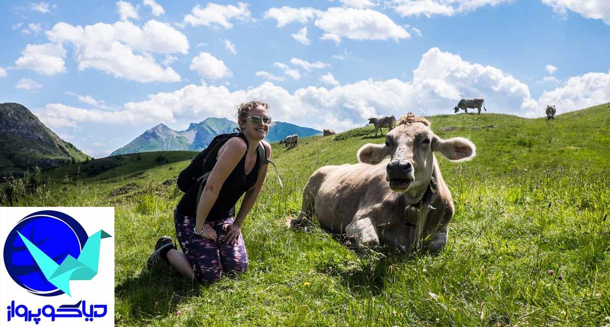 گاوی زیبا در کوهستان های اتریش