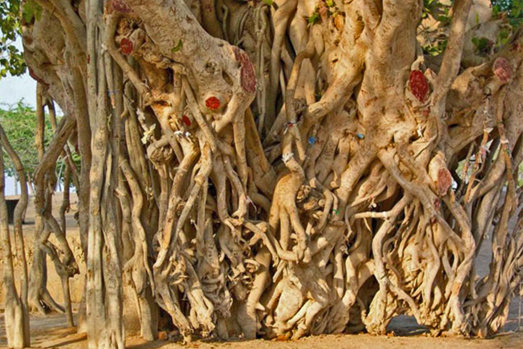 درختی زیبا و سبز  در جزیره ی کیش
