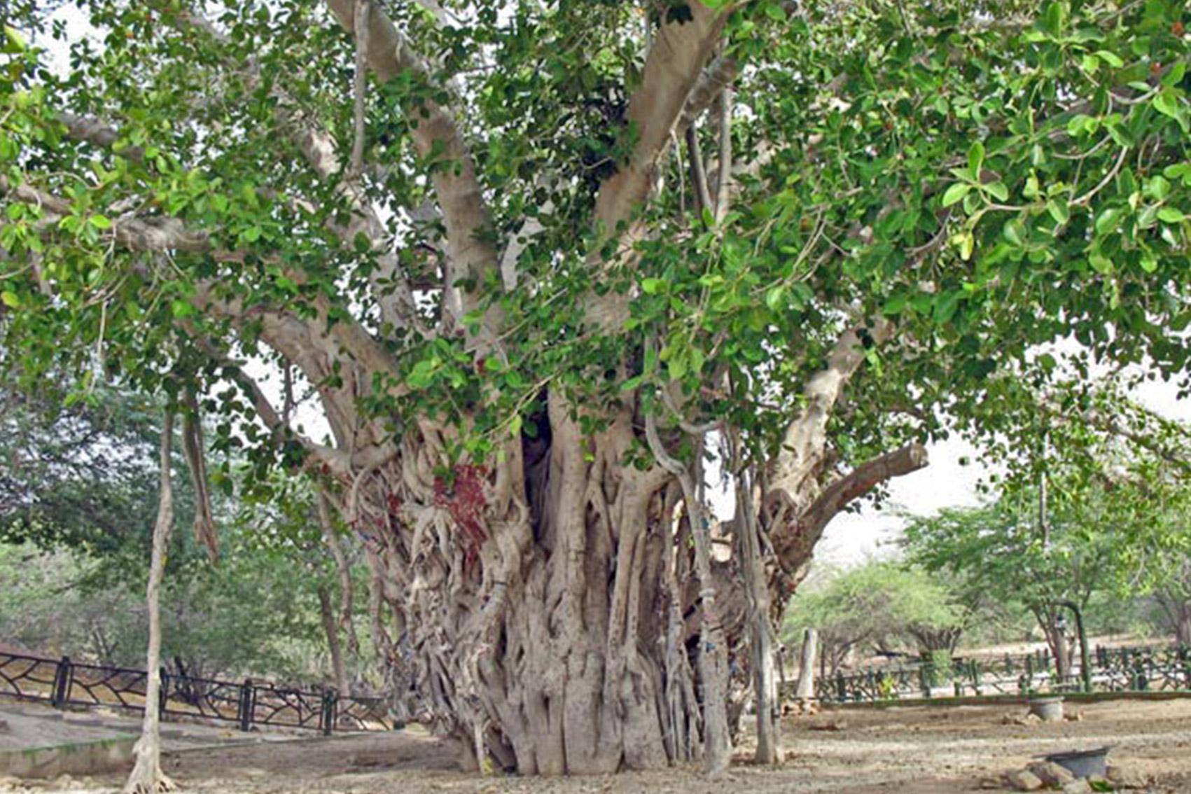 درختی زیبا و مقدس در جزیره ی کیش